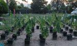 Cento piante di marijuana coltivate in un fondo agricolo: nei guai 34enne di Este – FOTO