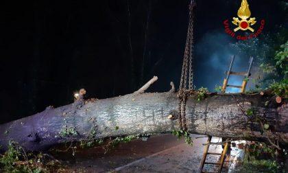 Le foto del grande albero caduto lungo la SP 46 a Curtarolo, deviato il traffico