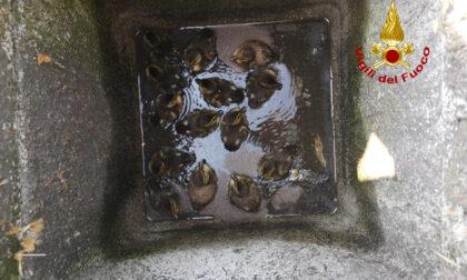 Le foto dei 14 anatroccoli finiti in un pozzetto a Bovolenta salvati dai pompieri