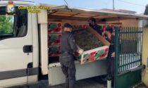 Canapa illegale venduta tra Italia e Francia: il video del maxi sequestro da una tonnellata e mezza