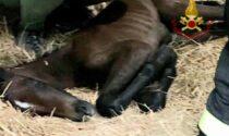 Le foto della cavalla gravida rimasta incastrata nel box prima di partorire il suo puledrino