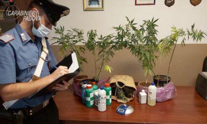 Una serra di marijuana in mansarda, arrestato 36enne padovano