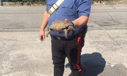 Carabinieri salvano testuggine dalla strada