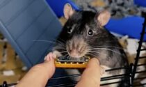 Il video di Mr. Bilk, il topo che suona l'armonica e fa impazzire i social