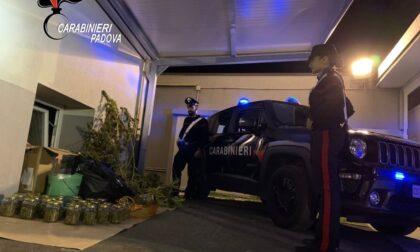 In casa aveva 39 vasetti con dentro marijuana e 3 piante di cannabis: 32enne nei guai